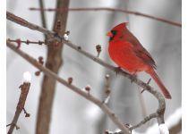 Cardinal Bird Up Close in Winter