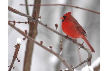 Cardinal up Close