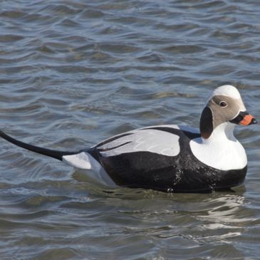 Greenhead Gear Commercial Grade Long-Tailed Ducks Save 14% Brand Greenhead Gear.